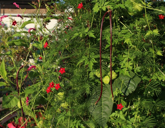 cypress vine, red noodle bean