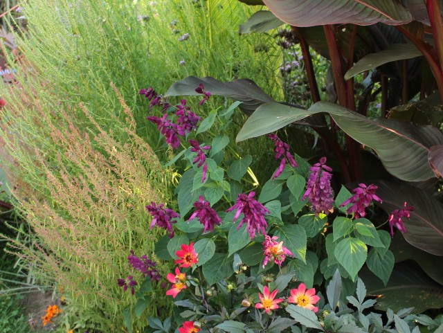 tall purple salvia splendens