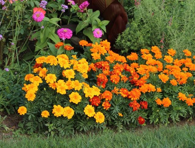 marigolds tagetes