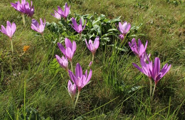colchicum lilac wonder