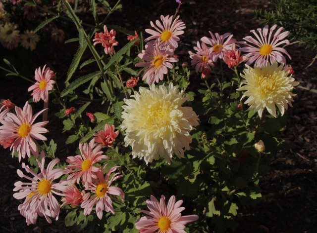 chrysanthemum mellow moon
