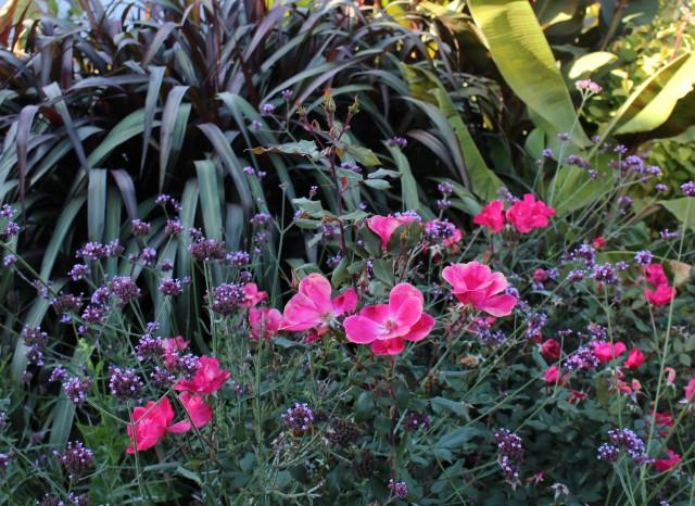 knockout rose pennesitum