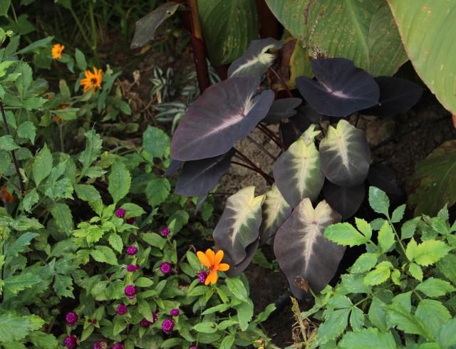 colocasia esculenta tropical storm