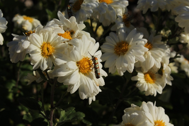ailanthus moth