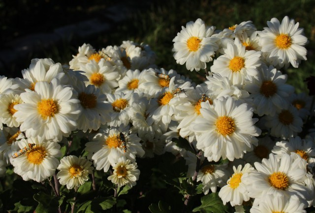 chrysanthemum innocence