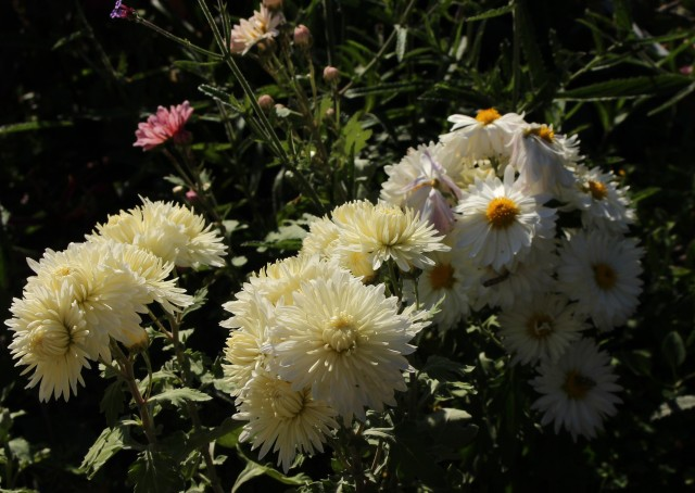 chrysanthemum Bristol white