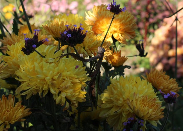 chrysanthemum gold country