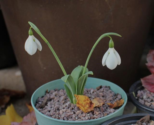 fall galanthus elwesii monostctus