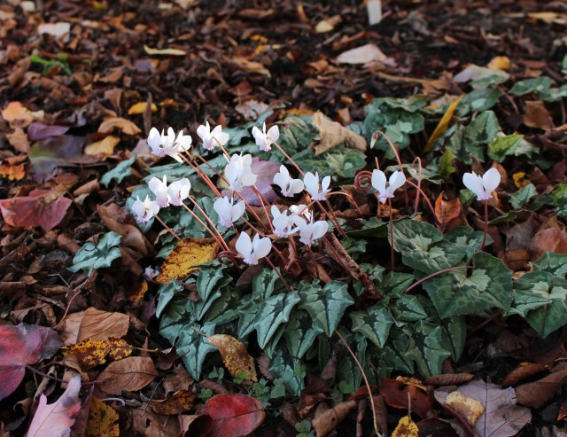 A pale pink form of Cyclamen hederifolium with a leaf pattern which I love.