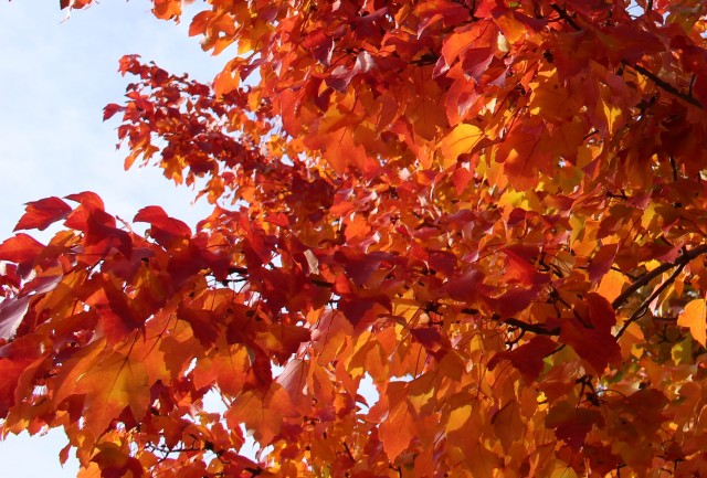 maple fall foliage