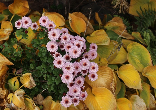 late chrysanthemum