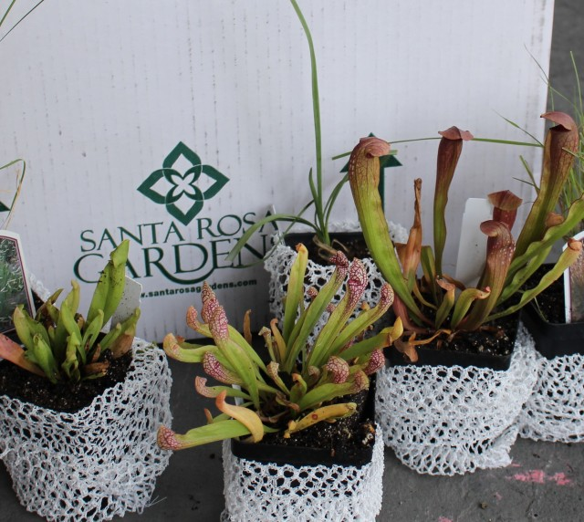 Sarracenia from santa rosa gardens