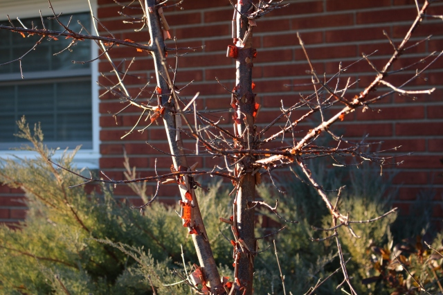 paperbark maple winter