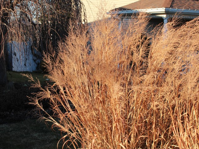 winter panicum dallas blues