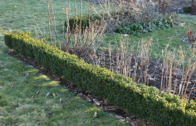 box hedge winter