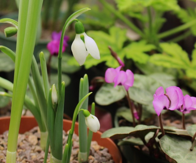 forced snowdrop