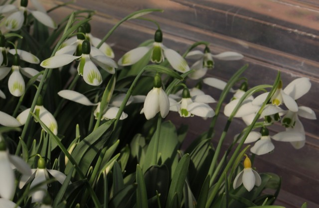 forced snowdrops