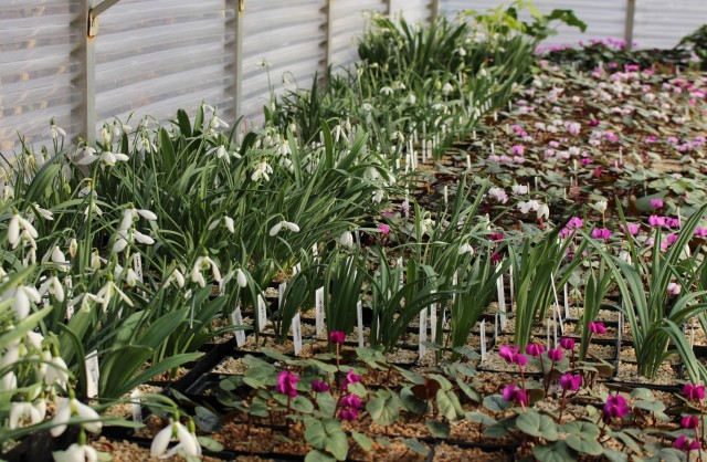 galanthus and cyclamen
