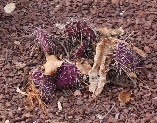 purple opuntia