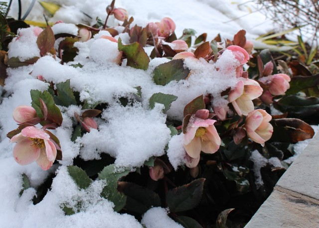 hellebore in snow