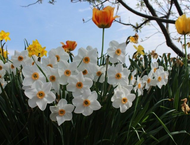 narcissus bright angel