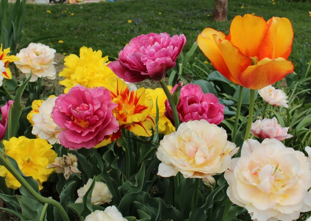 magic carpet double tulips