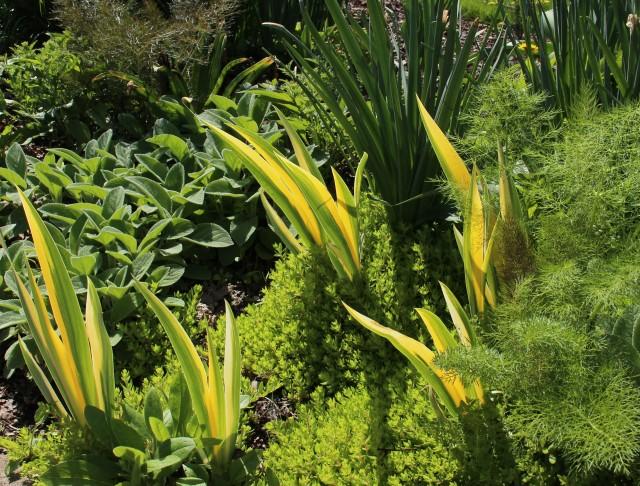 variegated iris pallida aureo-variegata