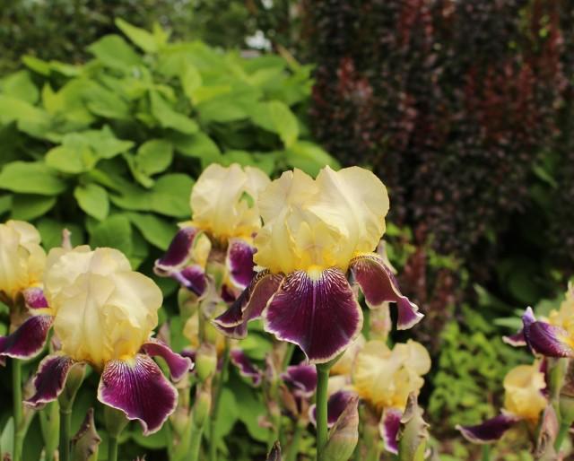 iris vingolf