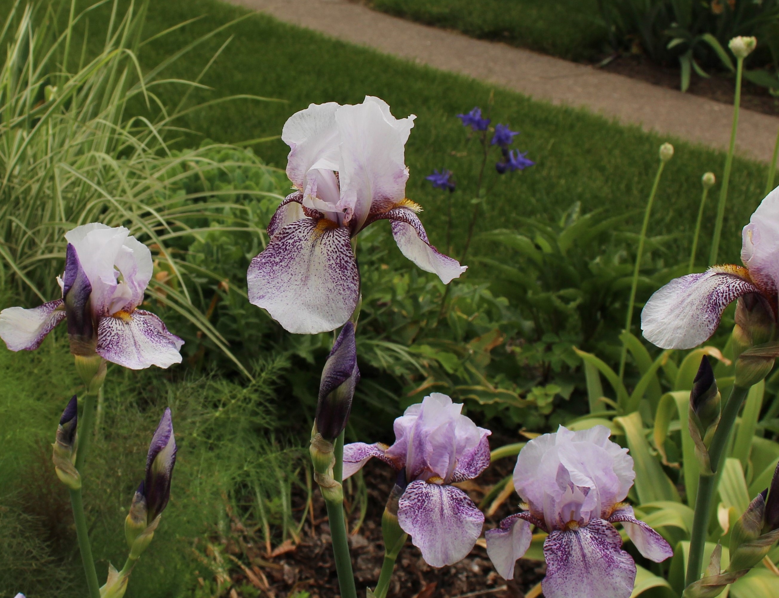 Iris sorta like suburbia iris rhages looking a little pale this year usually the flowers show much more spotting but its still a beauty izmirmasajfo