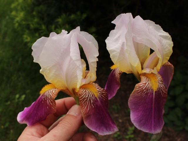 iris folkwang