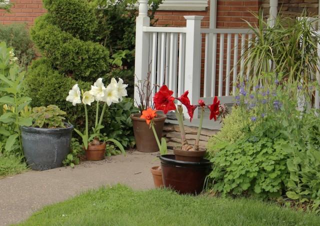 summer amaryllis