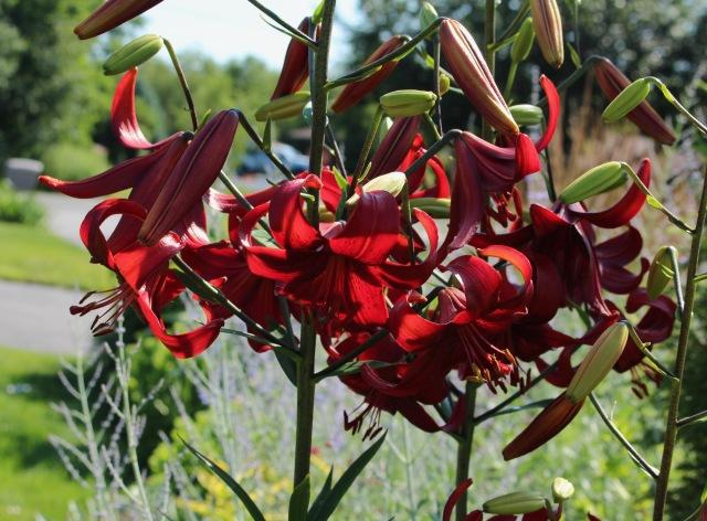 lilium red velvet