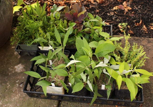 softwood cuttings