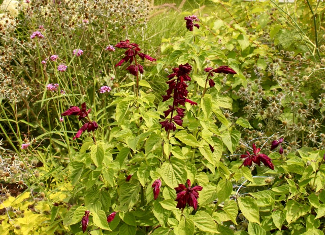 purple salvia splendens