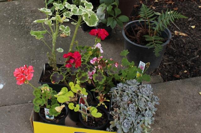 geraniums pelargoniums