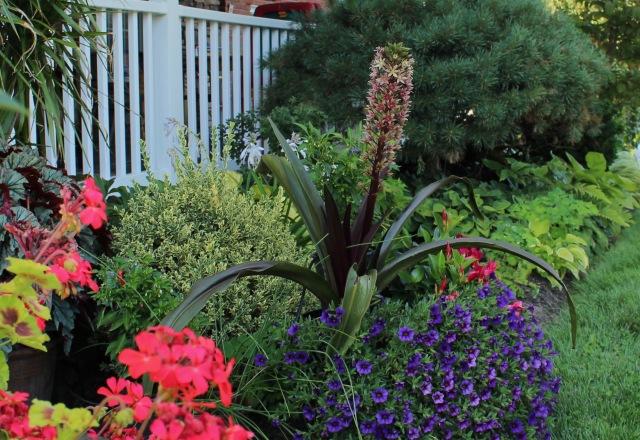 eucomis Oakhurst seedling