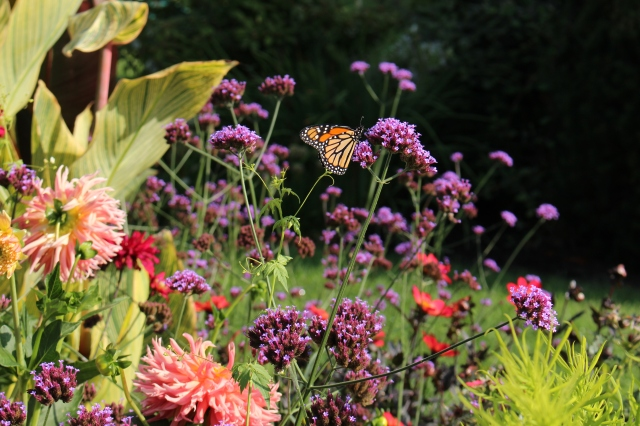 monarch on verbena
