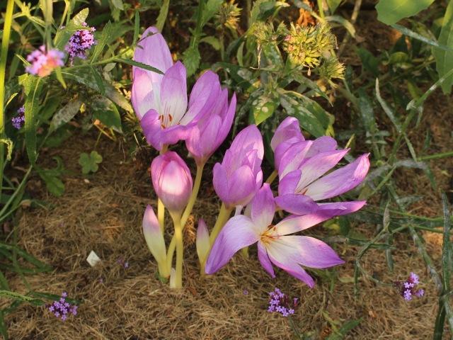 colchicum speciosum