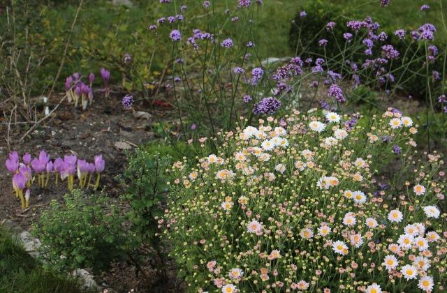 hardy garden chrysanthemum