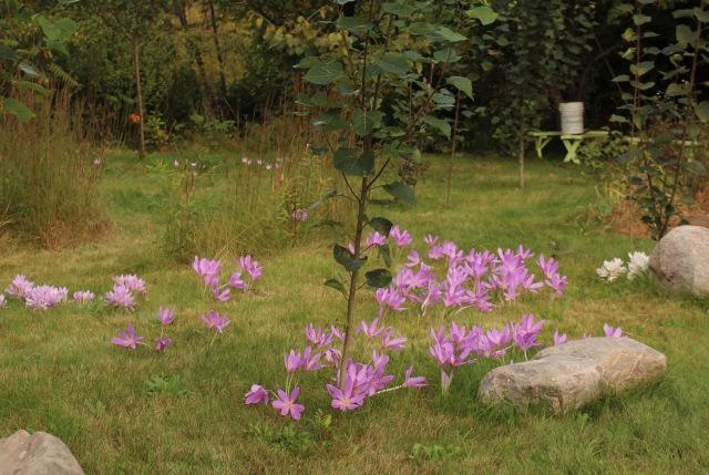 colchicum in lawn