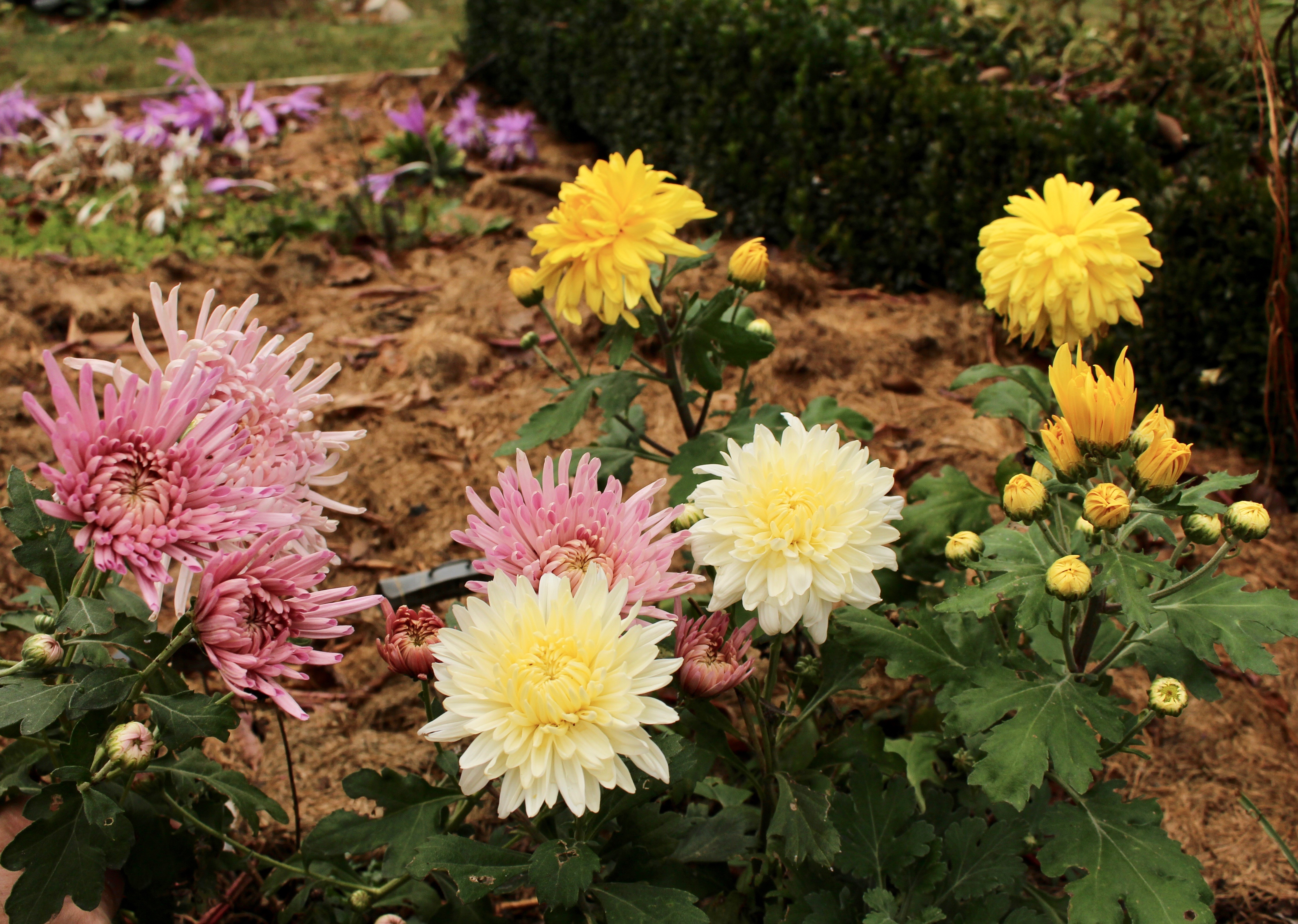 fall flowers « sorta like suburbia
