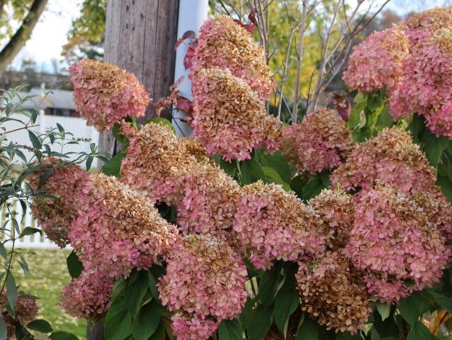 autumn limelight hydrangea