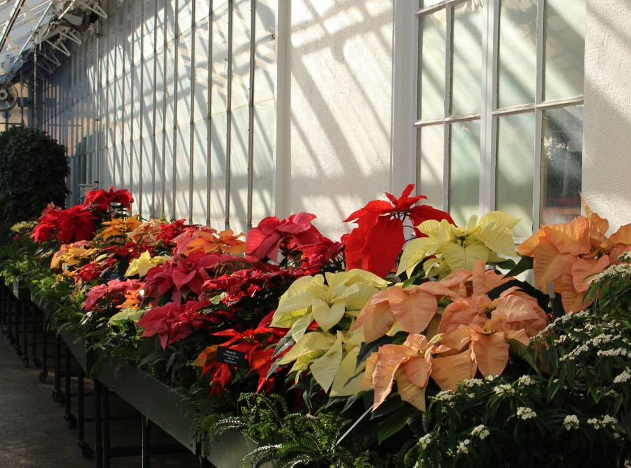 longwood poinsettias