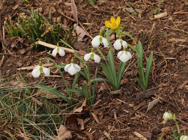 galanthus diggory
