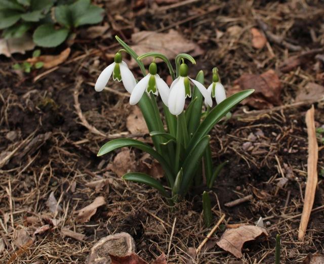galanthus Kew Green