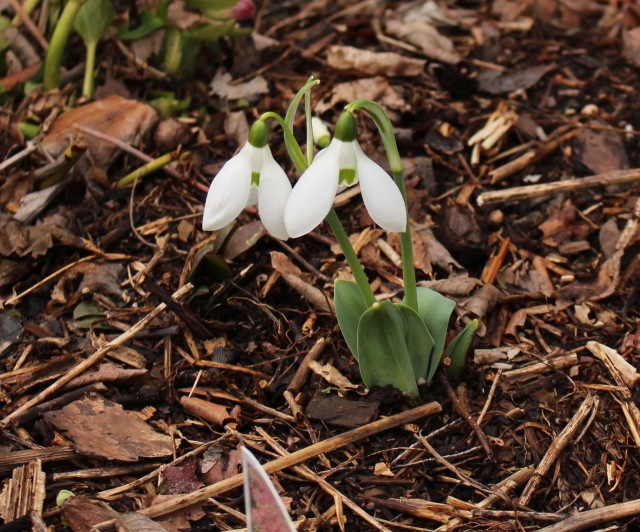 galanthus good blue leaf (elwesii)