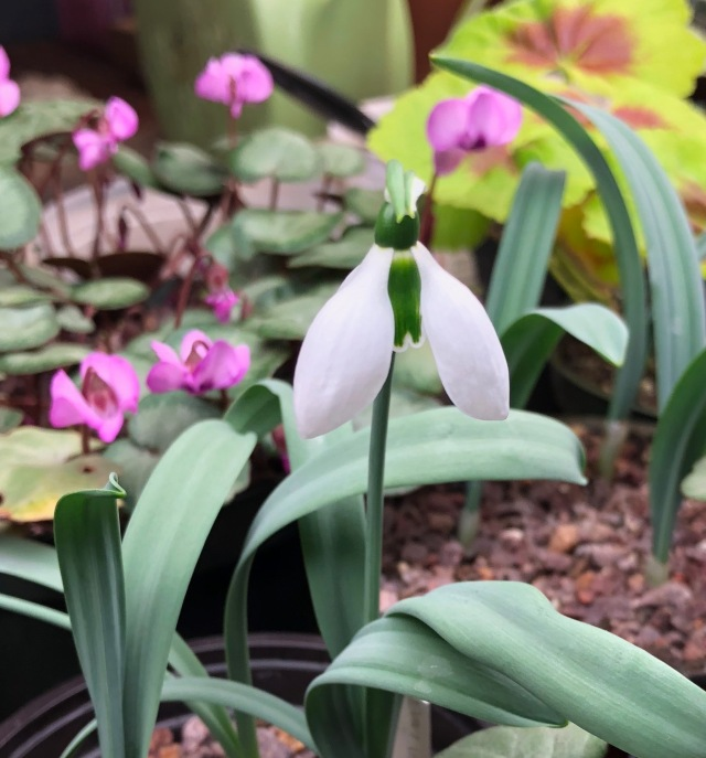potted snowdrop