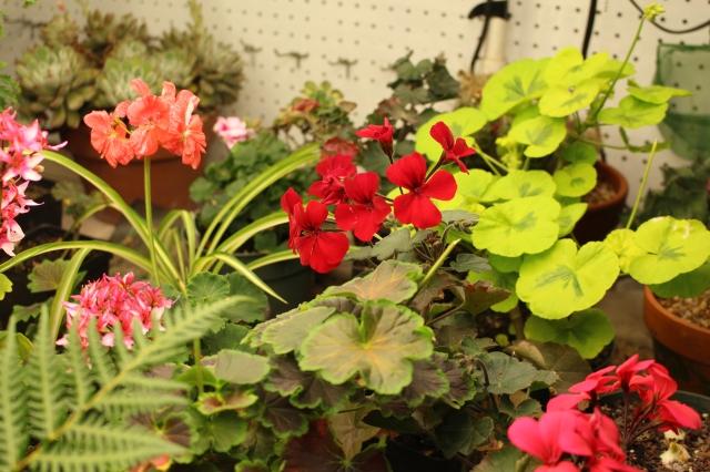 overwinter geranium
