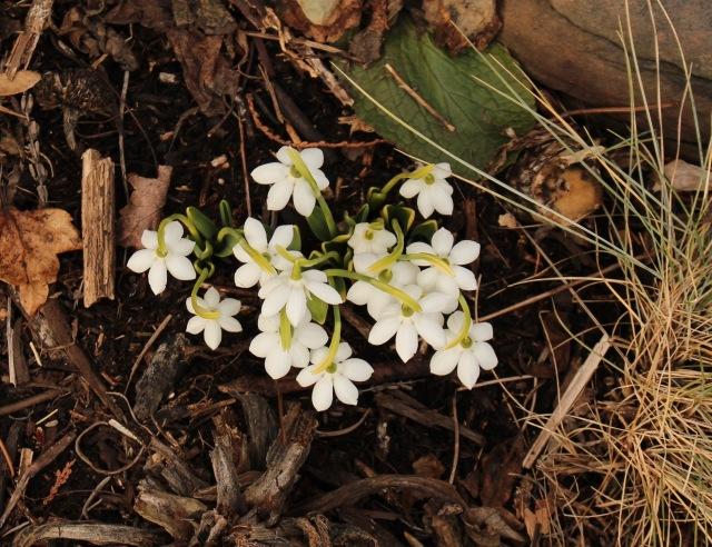 galanthus godfrey owen
