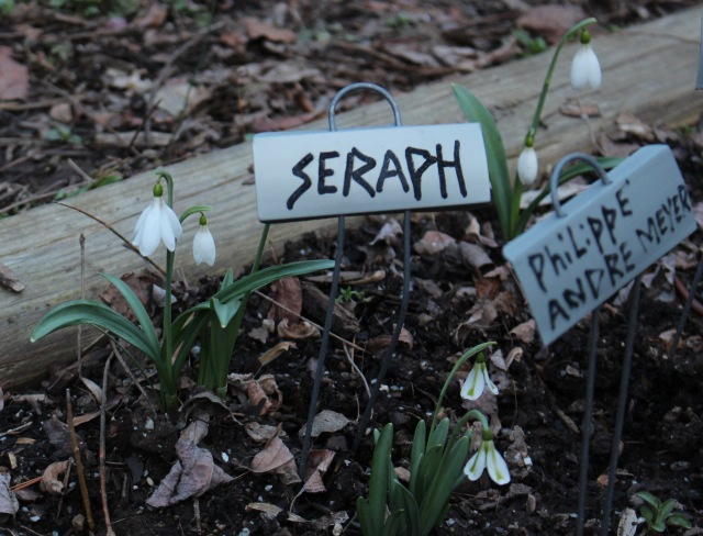 galanthus seraph philippe Andre Meyer